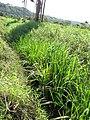 Starr-130322-3779-Zizania latifolia-habit-Hanalei NWR-Kauai (25116456711).jpg