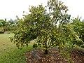 Starr-140925-1981-Fortunella japonica-Meiwa fruiting habit-Pali o Waipio Huelo-Maui (24619780363).jpg