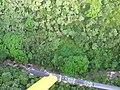 Starr-141014-5119-Caesalpinia decapetala-aerial view stream-Kakipi Gulch Haiku-Maui (24951880600).jpg