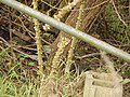 Starr-150108-3374-Caesalpinia decapetala-habit after control-Kekaulike Ave Kula-Maui (25238115756).jpg
