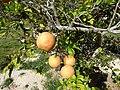 Starr-150326-0724-Citrus meyeri-fruit-Citrus Grove Town Sand Island-Midway Atoll (25148517712).jpg