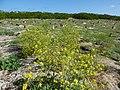 Starr-150328-0648-Brassica juncea-flowering habit-Northwest Eastern Island-Midway Atoll (24973323160).jpg