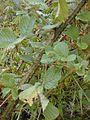 Starr 011205-0066 Rubus ellipticus.jpg