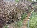 Starr 020620-0101 Pennisetum macrostachyum var. atropurpureum.jpg