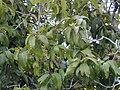 Starr 030222-0022 Nestegis sandwicensis.jpg