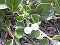 Starr 040120-0050 Jacquemontia ovalifolia subsp. sandwicensis.jpg
