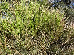 Description de l'image Starr 040120-0213 Casuarina glauca.jpg.