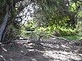Starr 040121-0015 Casuarina equisetifolia.jpg