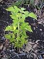 Starr 041211-1401 Rubus hawaiensis.jpg