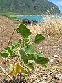 Starr 050419-0381 Chenopodium oahuense.jpg