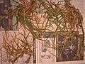 Starr 050427-0787 Cenchrus echinatus.jpg