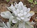 Starr 050519-1700 Gnaphalium sandwicensium var. molokaiense.jpg