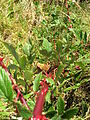 Starr 050817-3854 Rubus niveus f. b.jpg