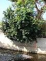 Starr 070206-4133 Syzygium cumini.jpg
