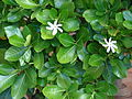 Starr 070221-4639 Gardenia sp..jpg