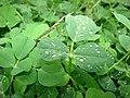 Starr 070313-5648 Trifolium repens.jpg