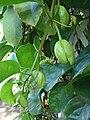 Starr 071024-0408 Passiflora quadrangularis.jpg