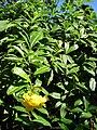 Starr 071024-9767 Allamanda cathartica 'Floreoplena'.jpg