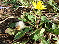 Starr 080417-4104 Taraxacum officinale.jpg
