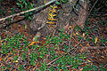 Starr 980826-1622 Olea europaea subsp. cuspidata.jpg