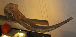 Schädel von Stegodon im Natural History Museum, London