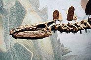 Stegosaurus skull Senckenberg