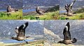 Stercorarius skua collage, Runde, Norway 06-06.jpg