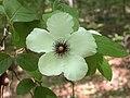 Stewartia malacodendron 1130.jpg