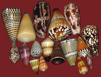Cone snail - A group of shells of various species of cone snails