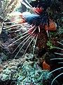 Strahlen-Feuerfisch - Pterois radiata.JPG