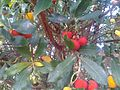 Strawberry tree in October.jpg