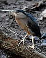 Striated Heron Butorides striata by Dr. Raju Kasambe DSCN9552 (4).jpg
