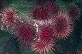 Strongylocentrotus franciscanus cluster.jpg