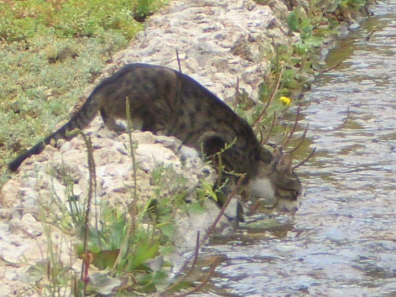 File:Su içerken kedi12.JPG