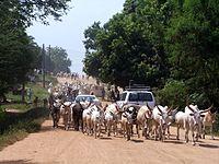 Sudan Juba cattle on street.jpg