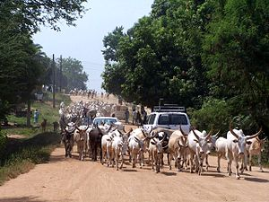 cattle on the street in Juba, Sudan, taken on ...