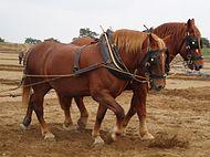 Suffolk horses ploughing.jpg