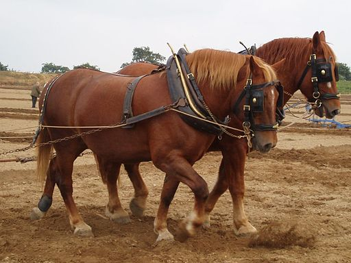 Suffolk horses ploughing