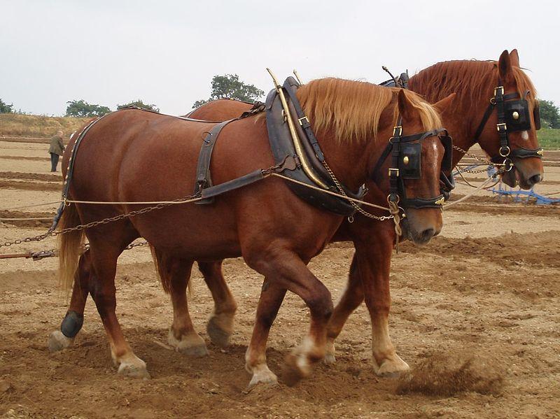 File:Suffolk horses ploughing.jpg