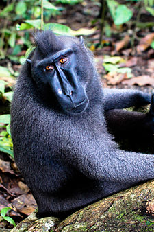 Sulawesi crested macaque.jpg