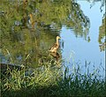 Sunrise Duck, Ford Park, Redlands, CA 8-12 (7832742056).jpg
