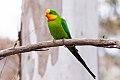 Superb Parrot (Polytelis swainsonii) (8079607429).jpg