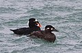 Surf Scoter-male and female-3.jpg