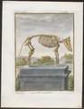 Sus scrofa domestica - skelet - 1700-1880 - Print - Iconographia Zoologica - Special Collections University of Amsterdam - UBA01 IZ21900151.tif
