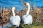 Swans - Lakenheath Fen (31884736564).jpg