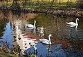 Swans at Telc (5) (26319594102).jpg