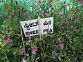 Sweet pea from lalbagh 1785.JPG