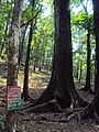 Swietenia macrophylla 02.JPG