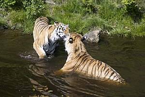Kristiansand Zoo and Amusement Park - Tigers swimming at the Zoo