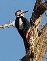 Syrian-Woodpecker-20051218m023-2.jpg